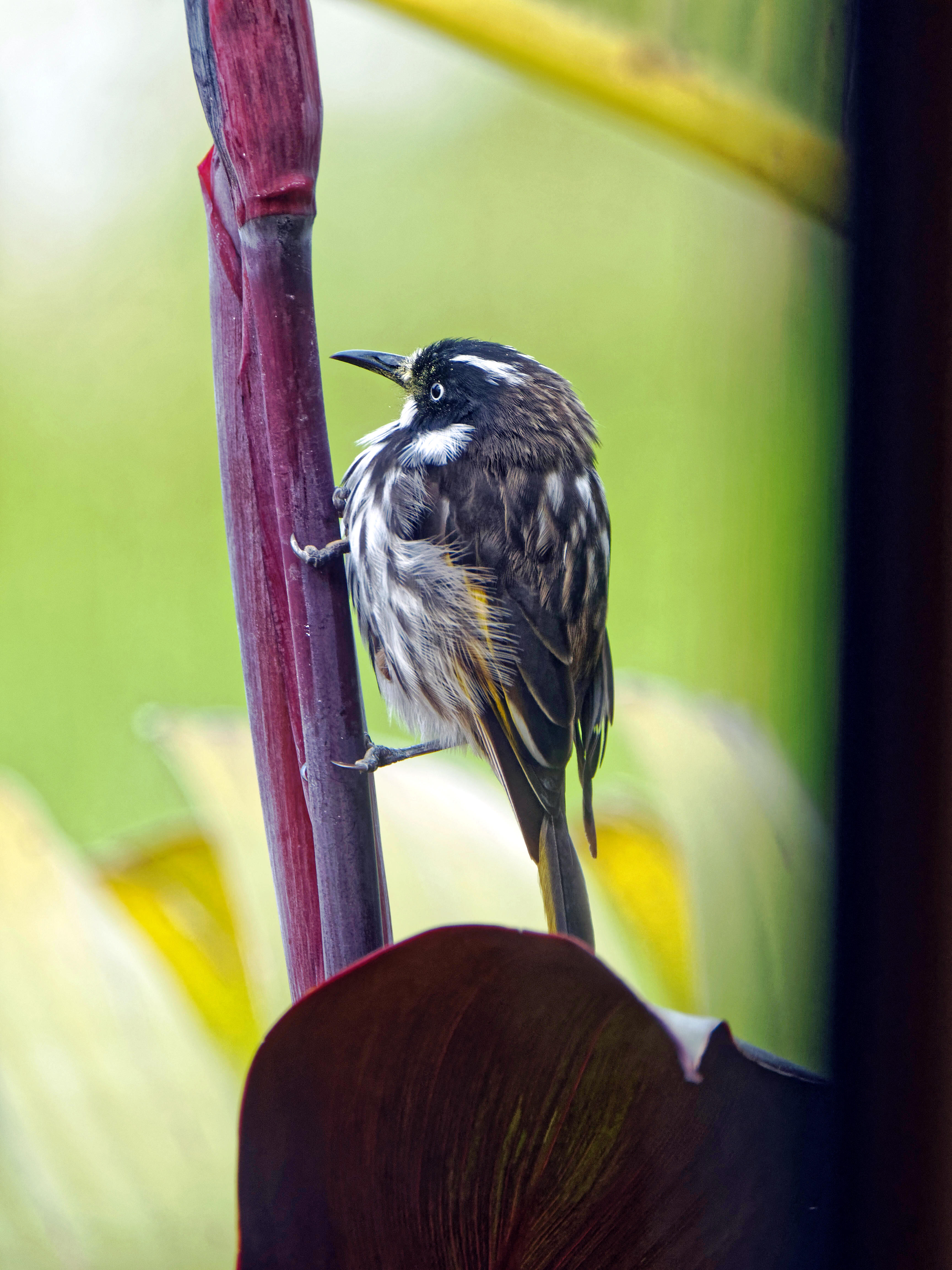 This should be Honeyeater-7.jpeg.  Is it missing?