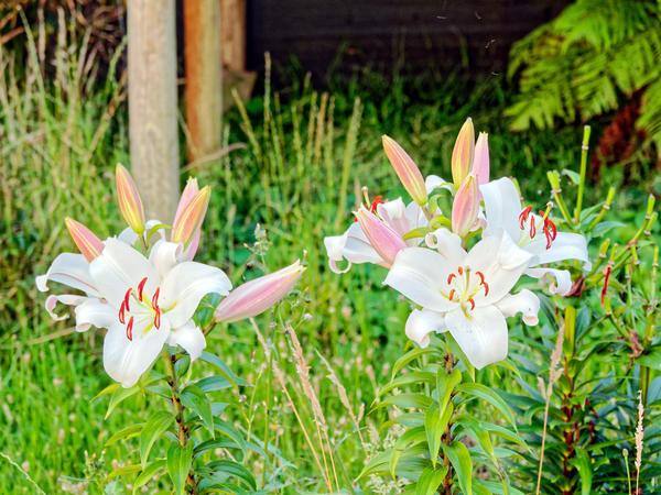Lilies-1.jpeg