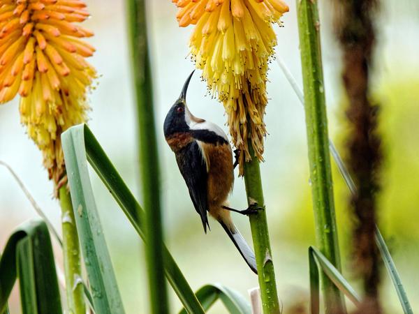 Honeyeater-16.jpeg