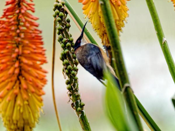 Honeyeater-7.jpeg