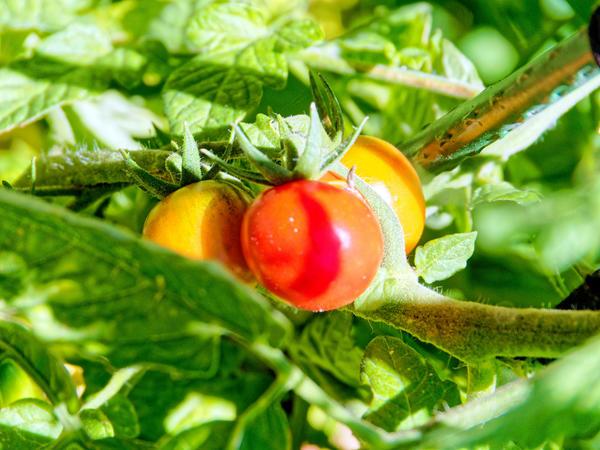 Tomato-3.jpeg