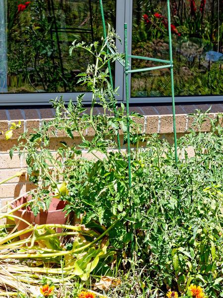 Tomato-4.jpeg