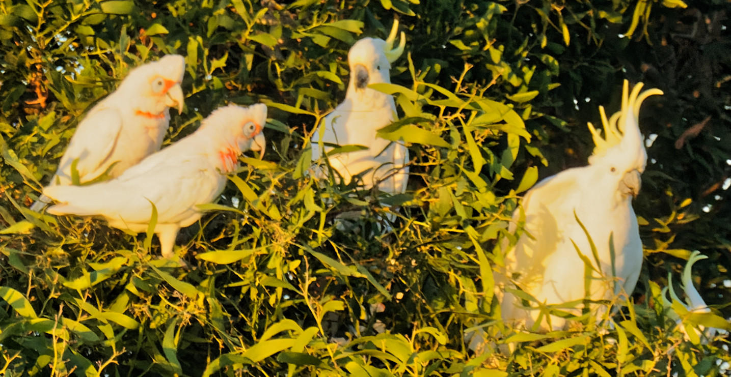 Cockatoos-18-detail.jpeg