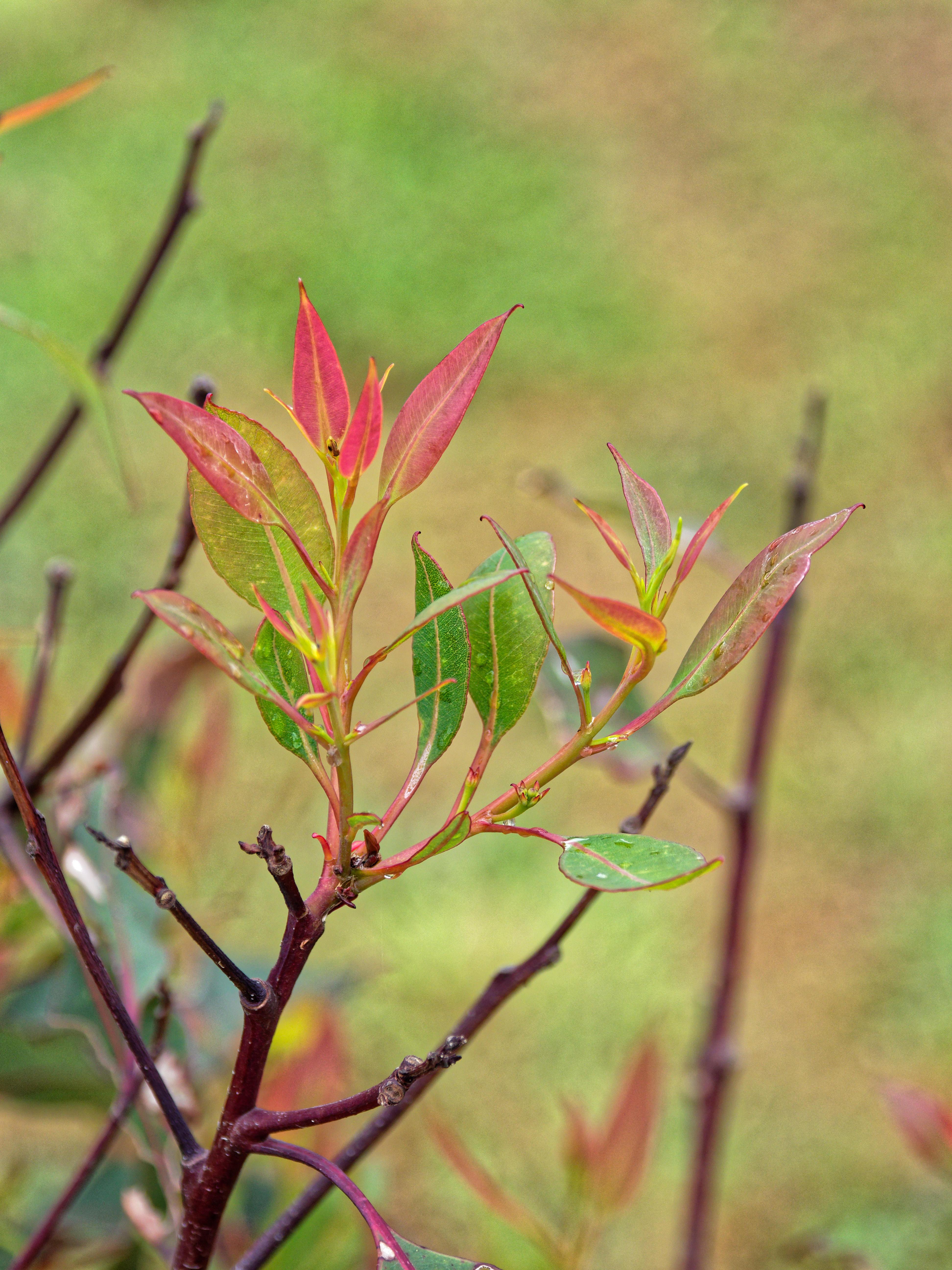 Corymbia-ficifolia-2.jpeg