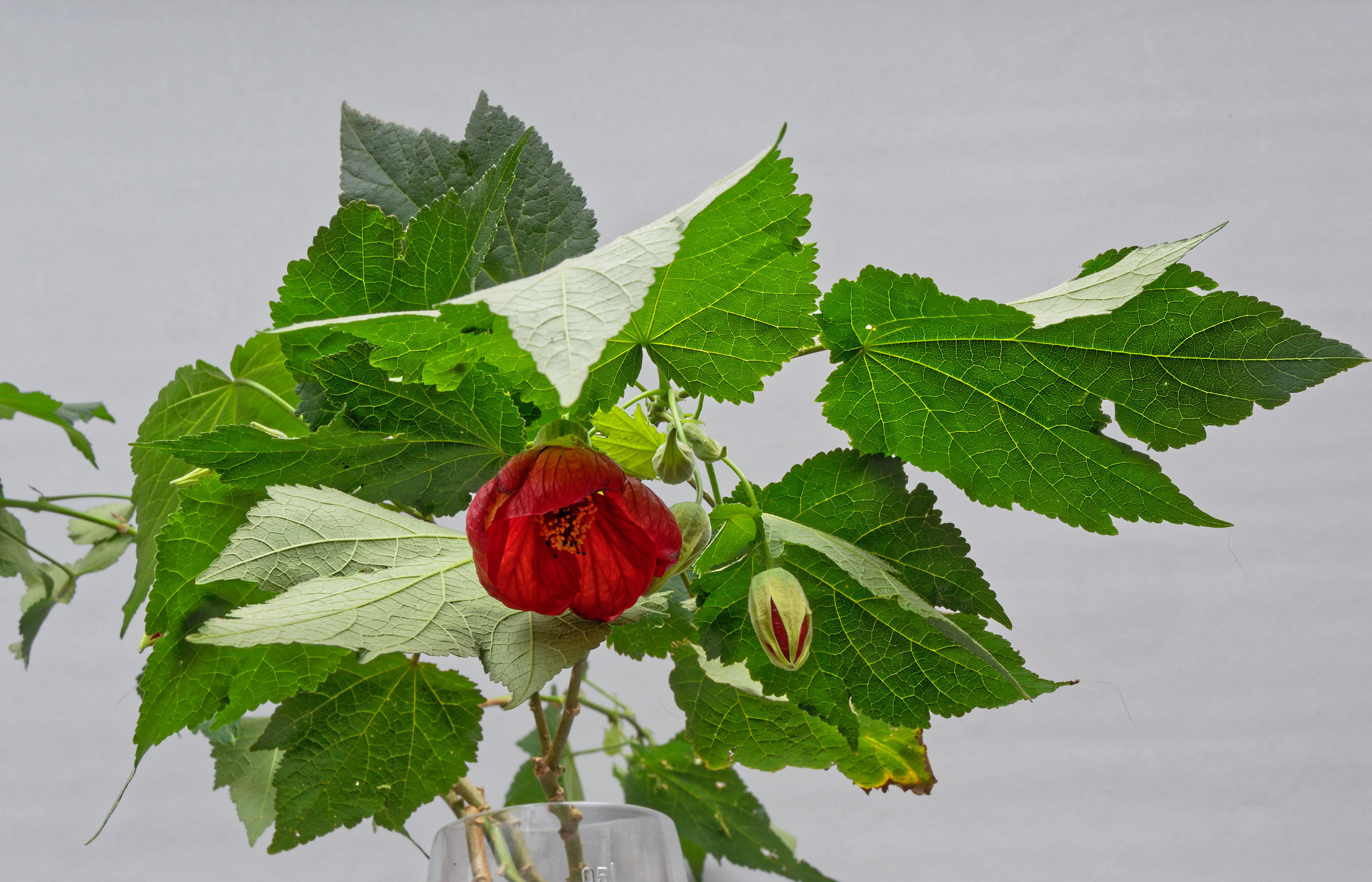 This should be Abutilon-5.jpeg.  Is it missing?