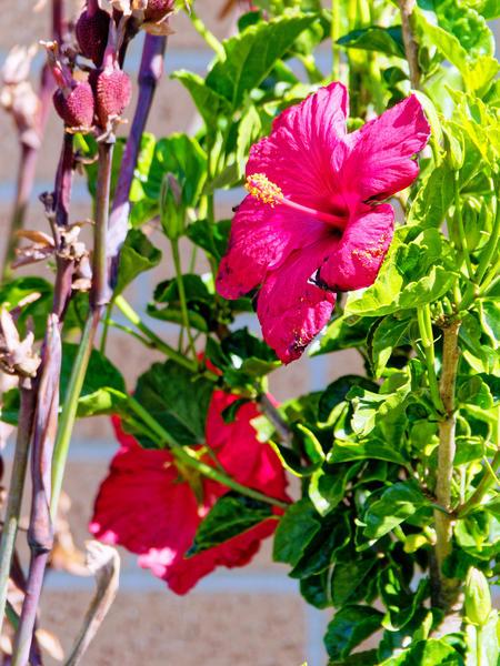 Hibiscus-2.jpeg