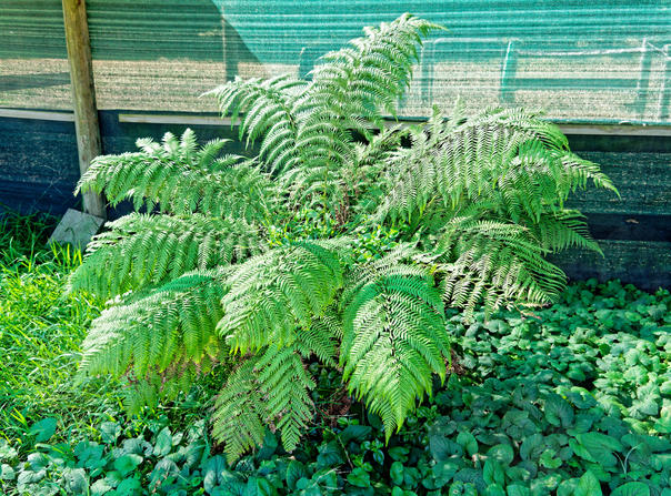 Tree-fern.jpeg
