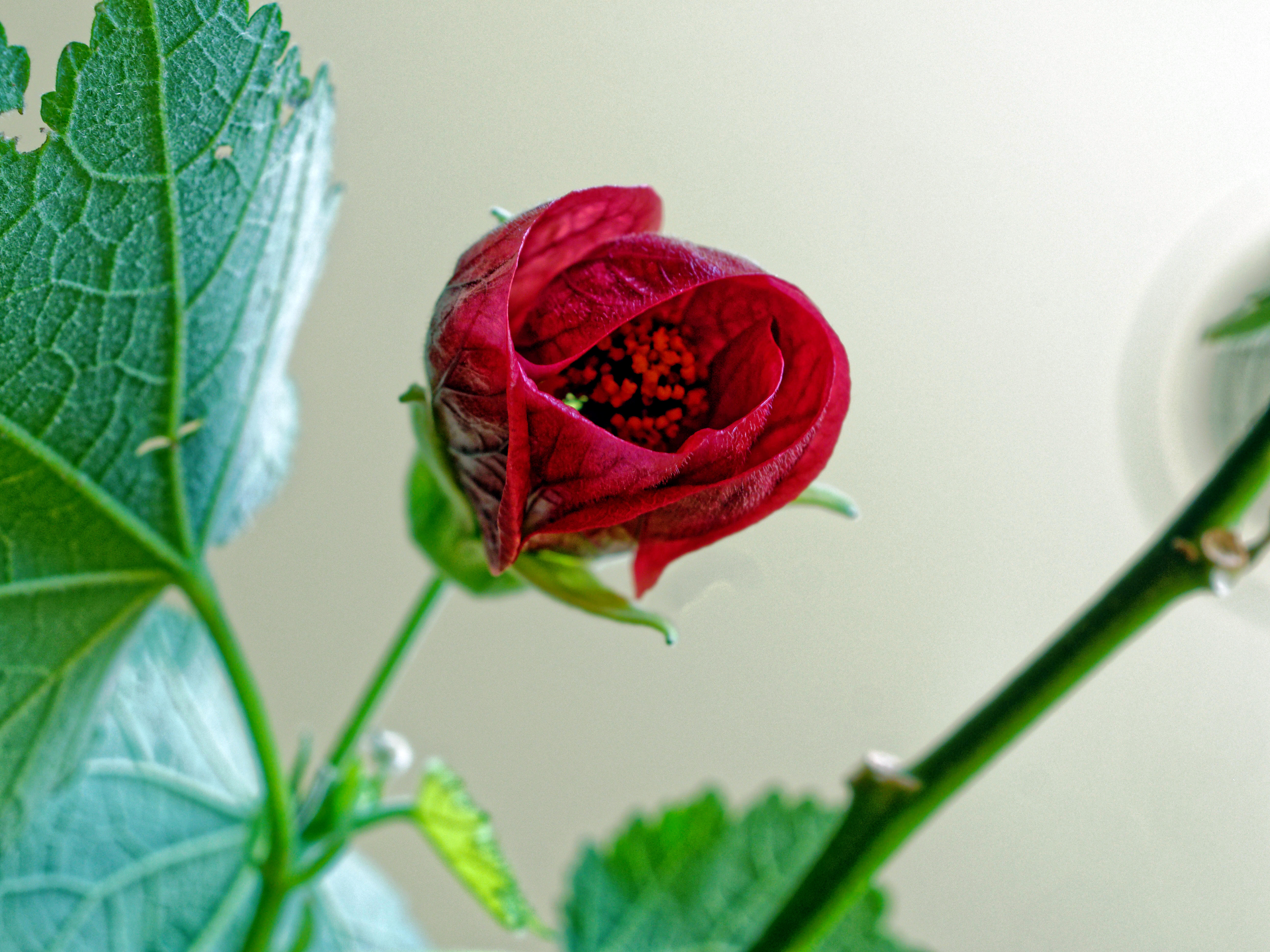 This should be Abutilon-4.jpeg.  Is it missing?