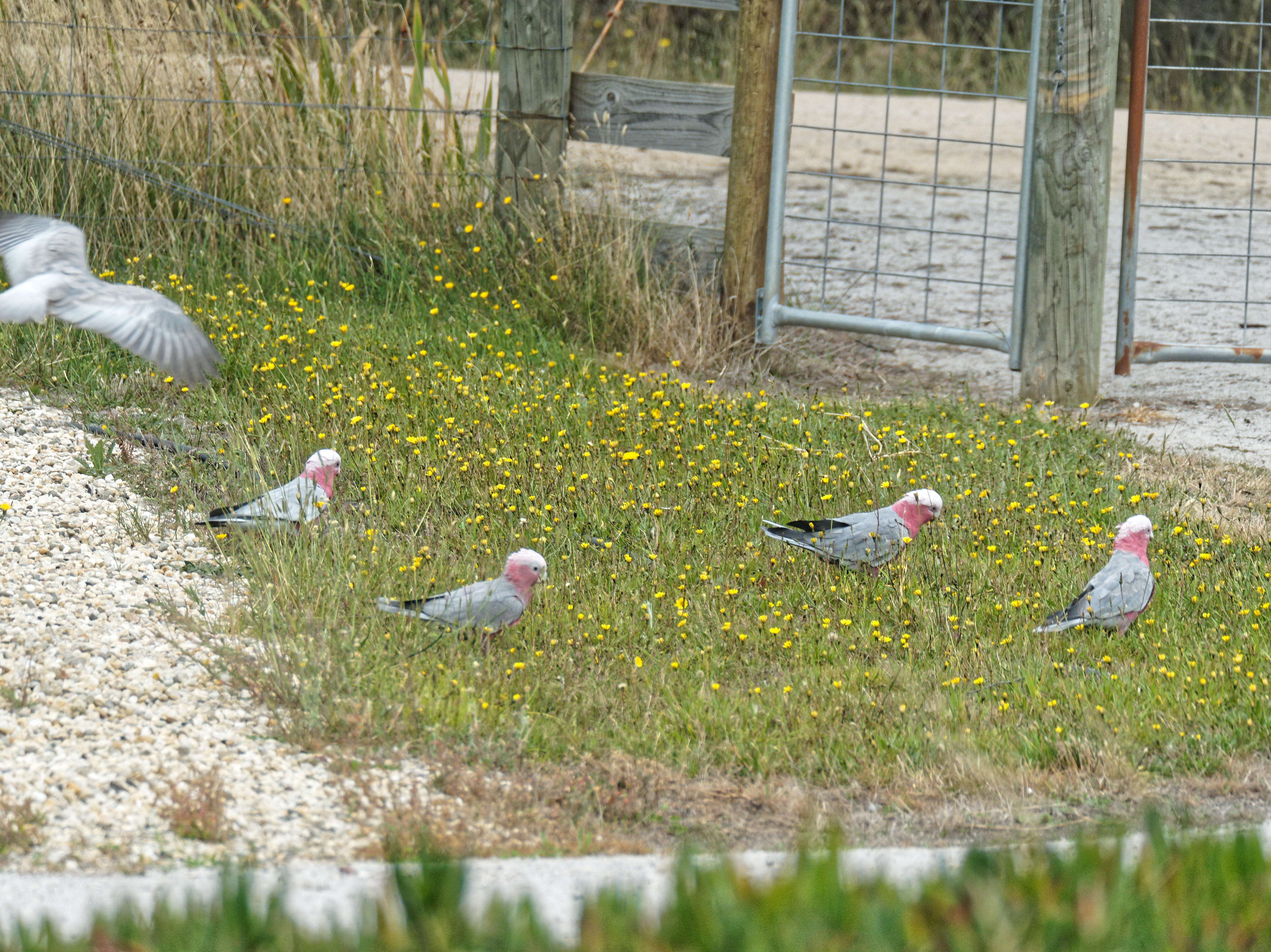This should be Galahs-2.jpeg.  Is it missing?
