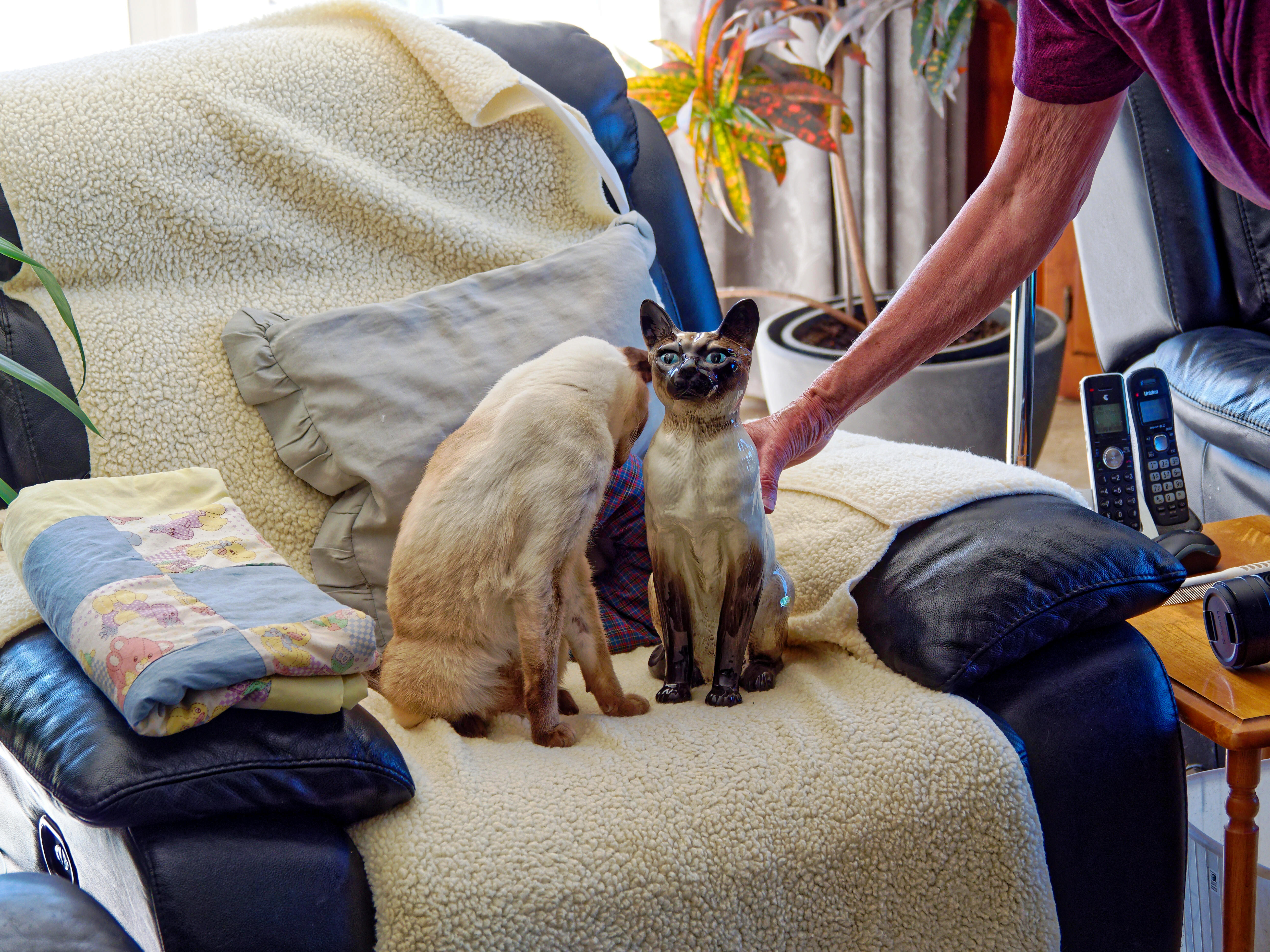 New-Siamese-cat-4.jpeg