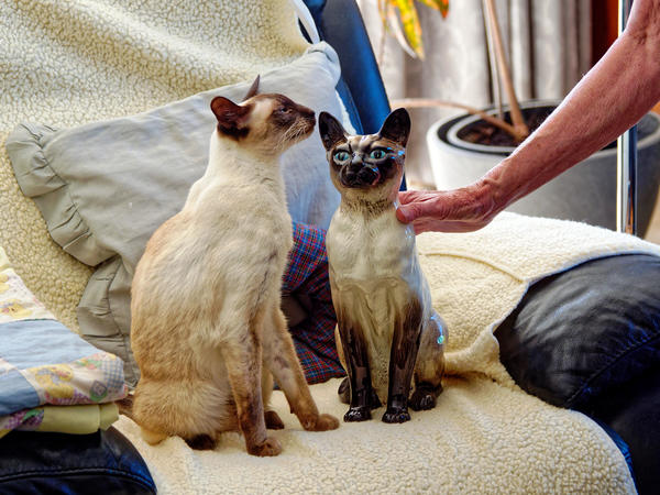 New-Siamese-cat-5.jpeg