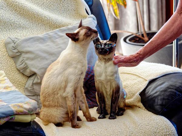 New-Siamese-cat-6.jpeg