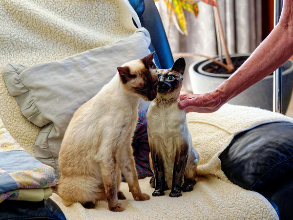 New-Siamese-cat-7.jpeg