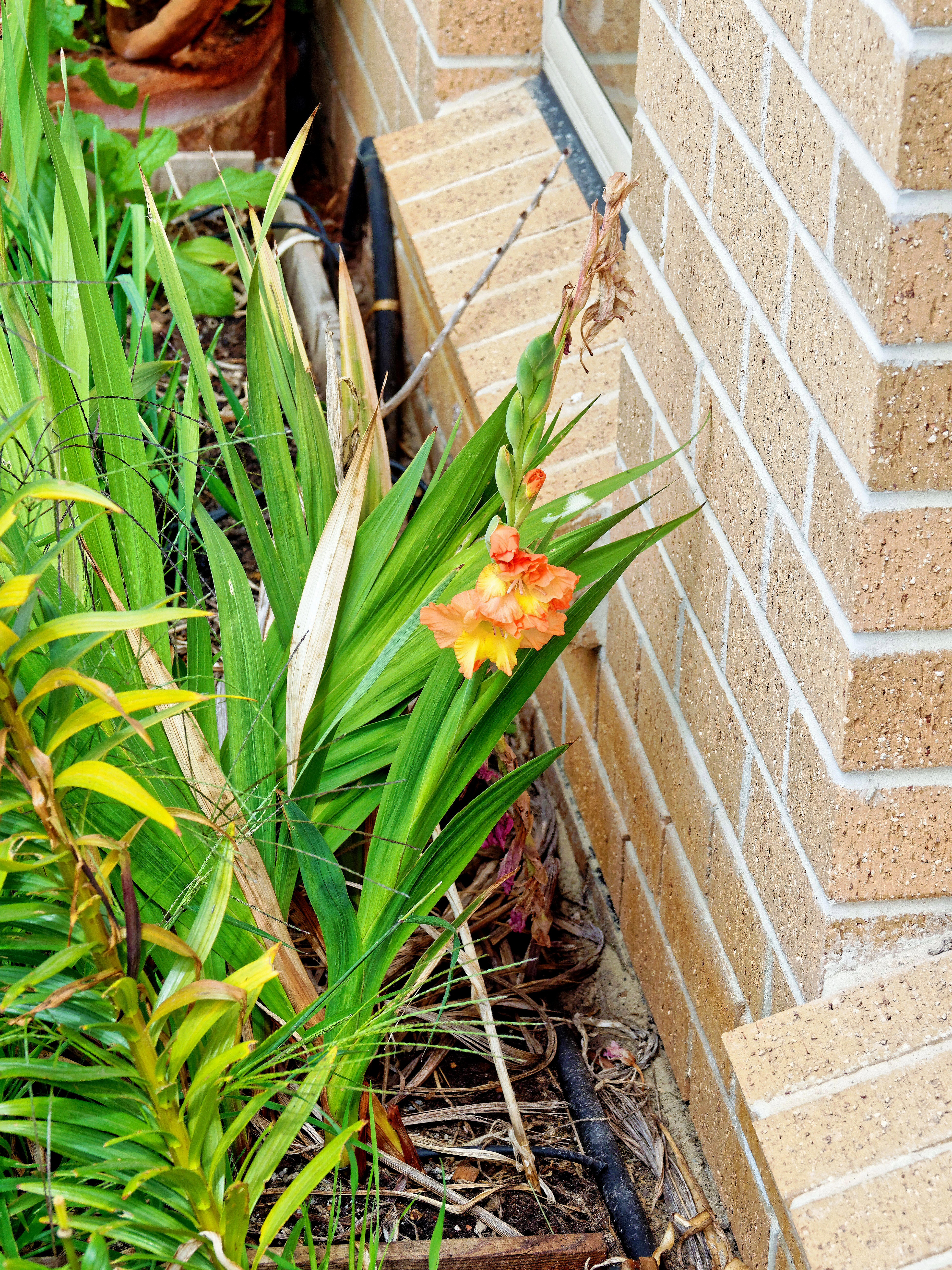 This should be Gladiolus.jpeg.  Is it missing?