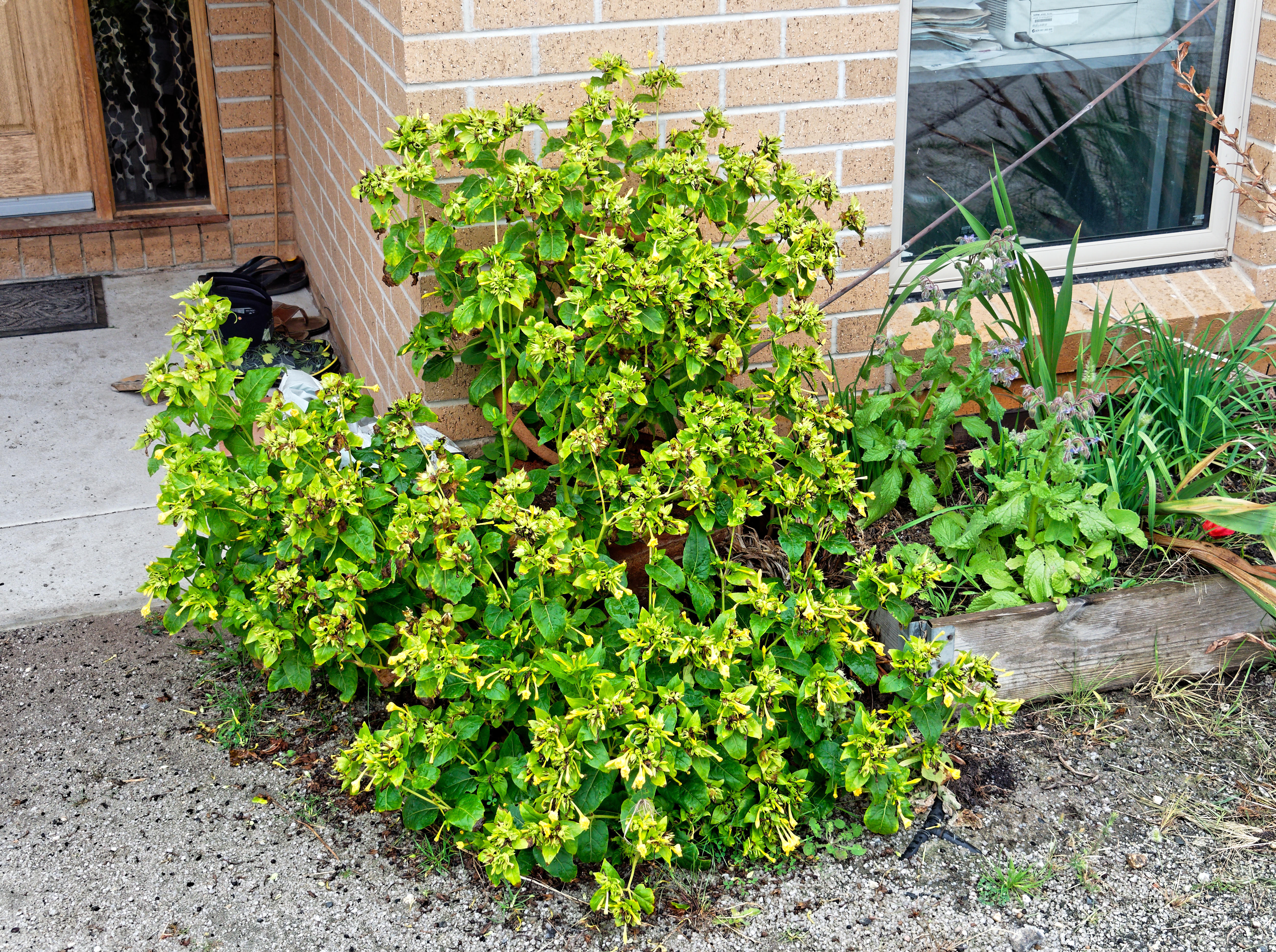 This should be Mirabilis-jalapa.jpeg.  Is it missing?