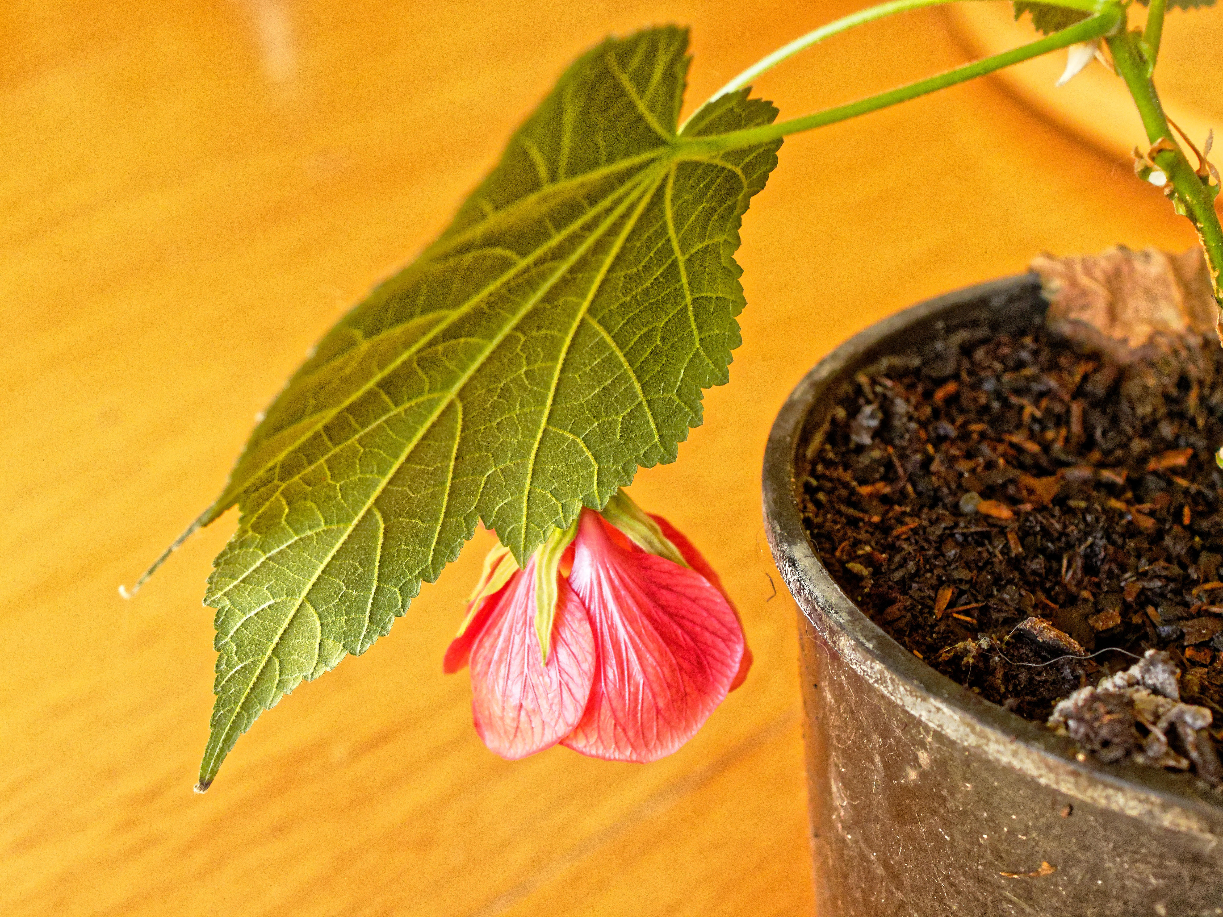 This should be Abutilon-3.jpeg.  Is it missing?