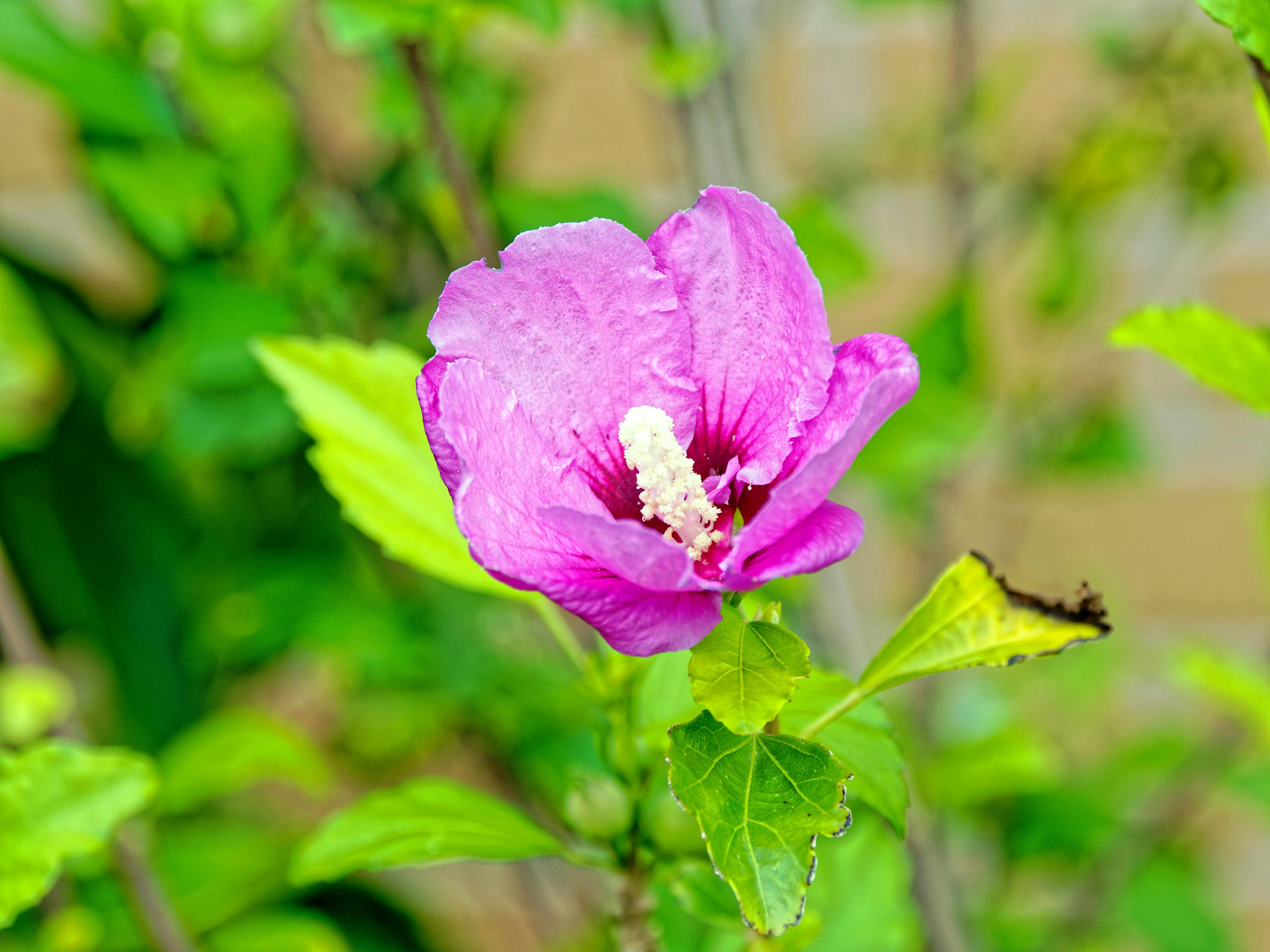 This should be Hibiscus-syriacus-2.jpeg.  Is it missing?