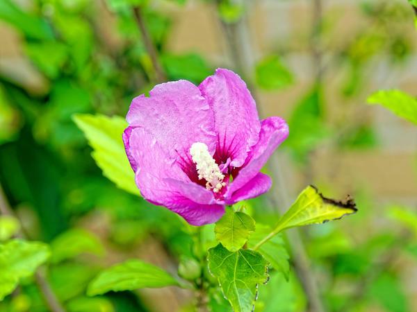 Hibiscus-syriacus-3.jpeg