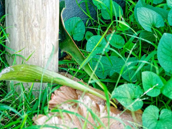 Staghorn-fern.jpeg