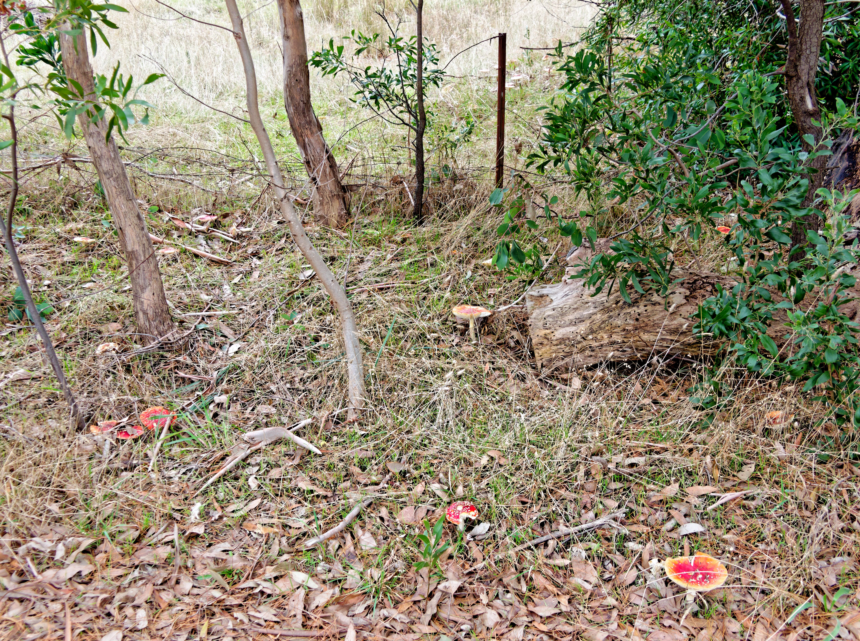 Amanita-muscaria-1.jpeg