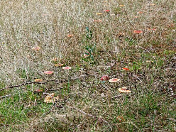 Amanita-muscaria-3.jpeg