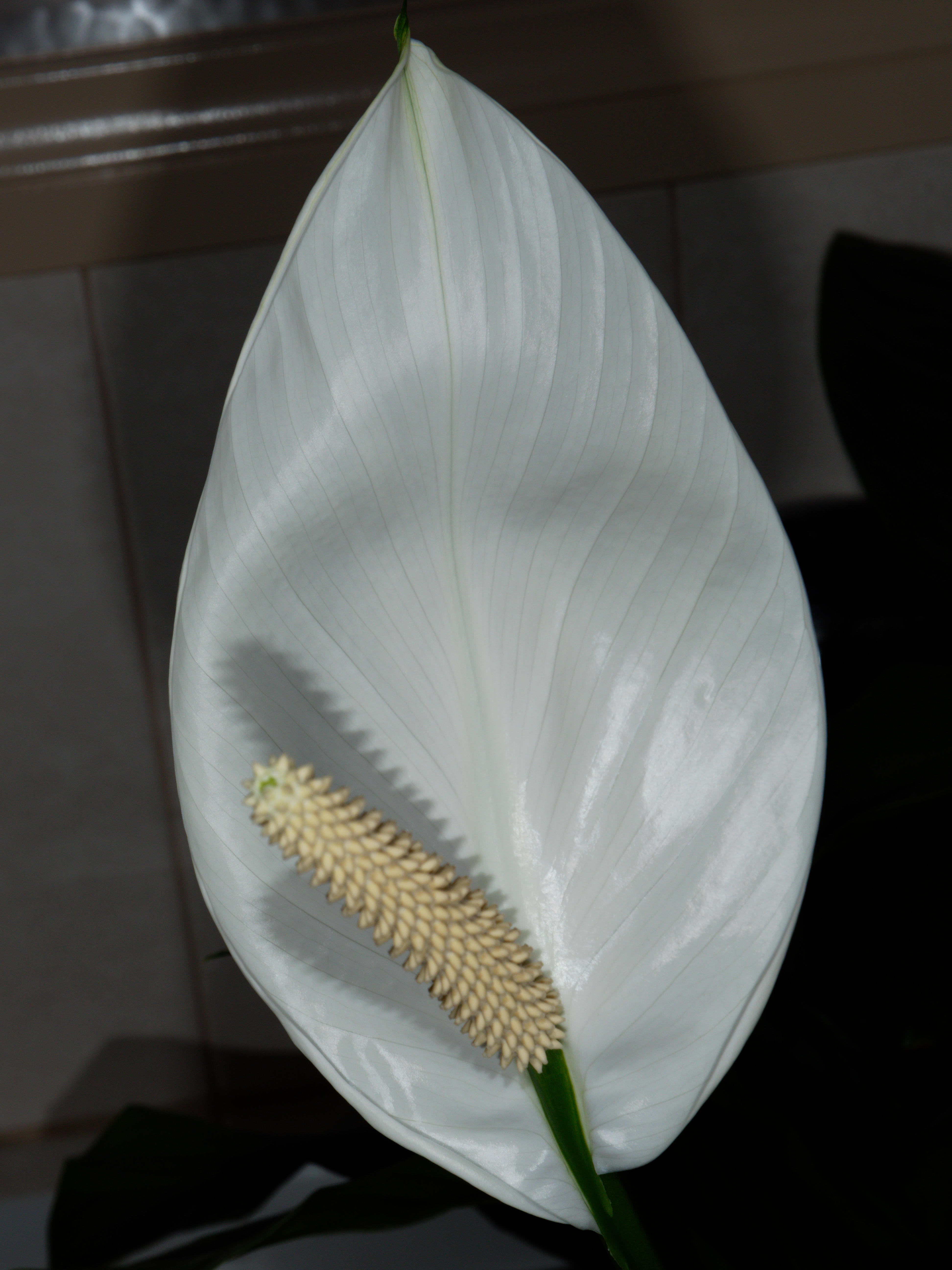 This should be Spathiphyllum-11.jpeg.  Is it missing?