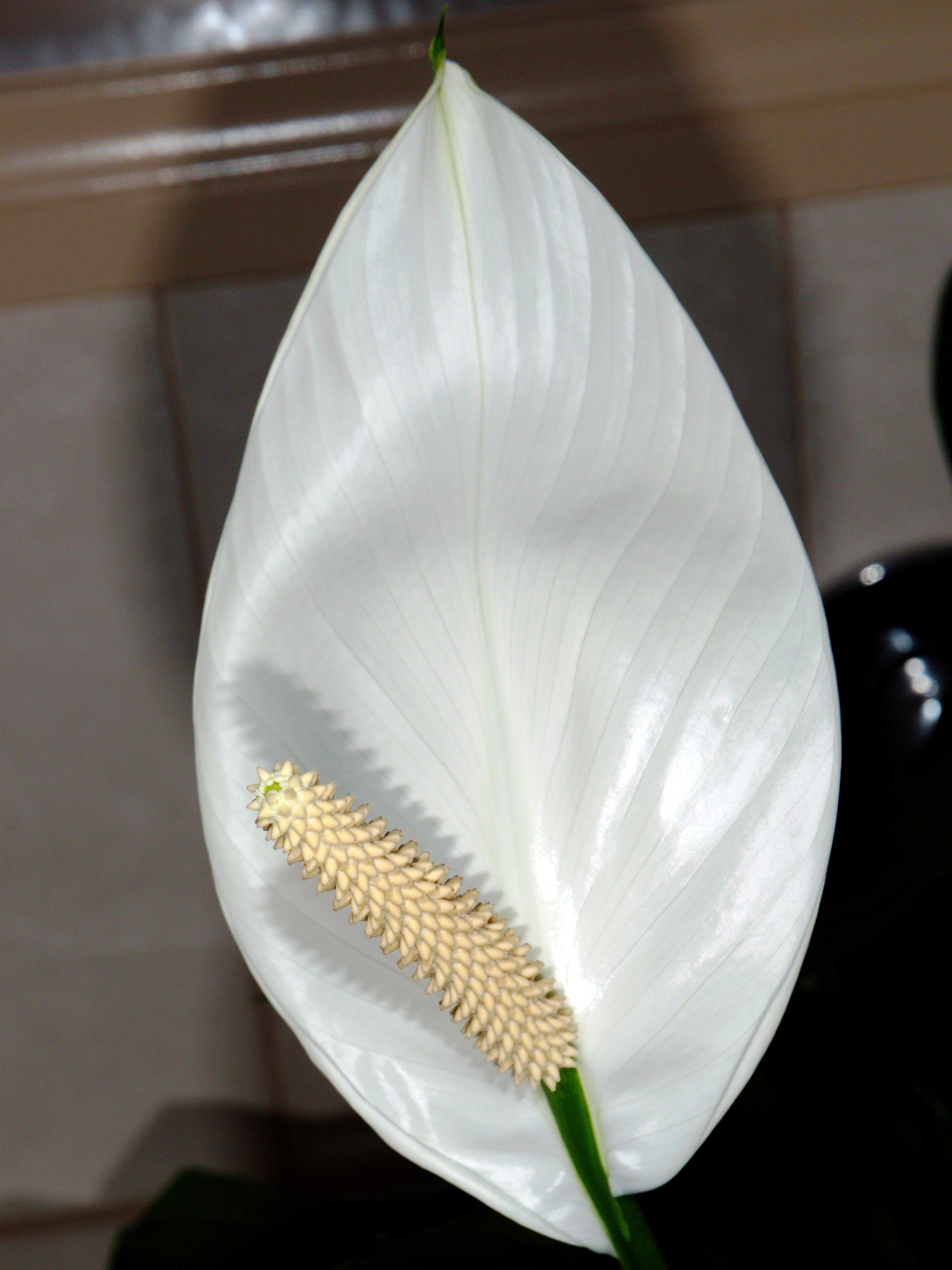 Spathiphyllum-13-shampooed.jpeg