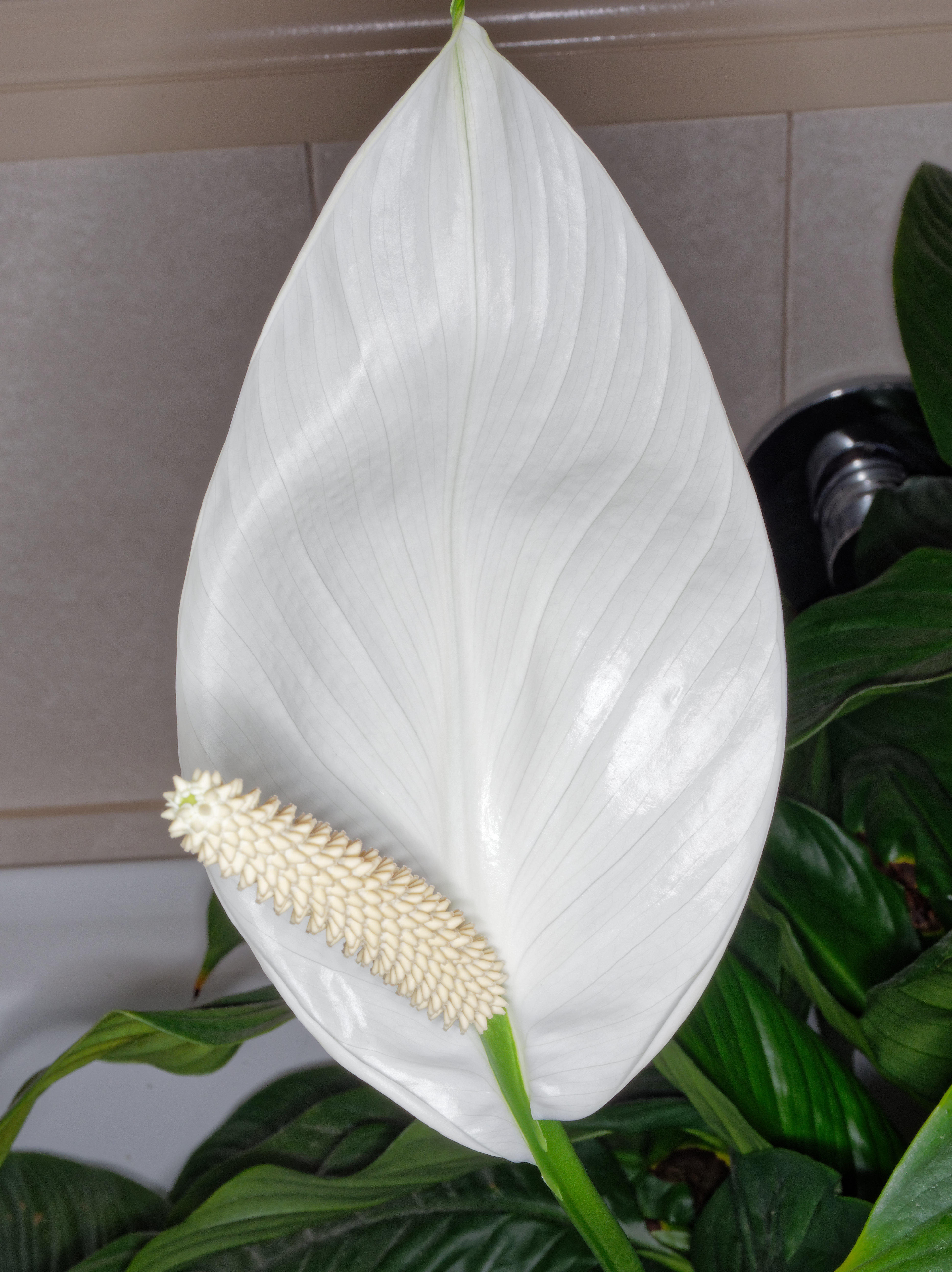 This should be Spathiphyllum-3.jpeg.  Is it missing?