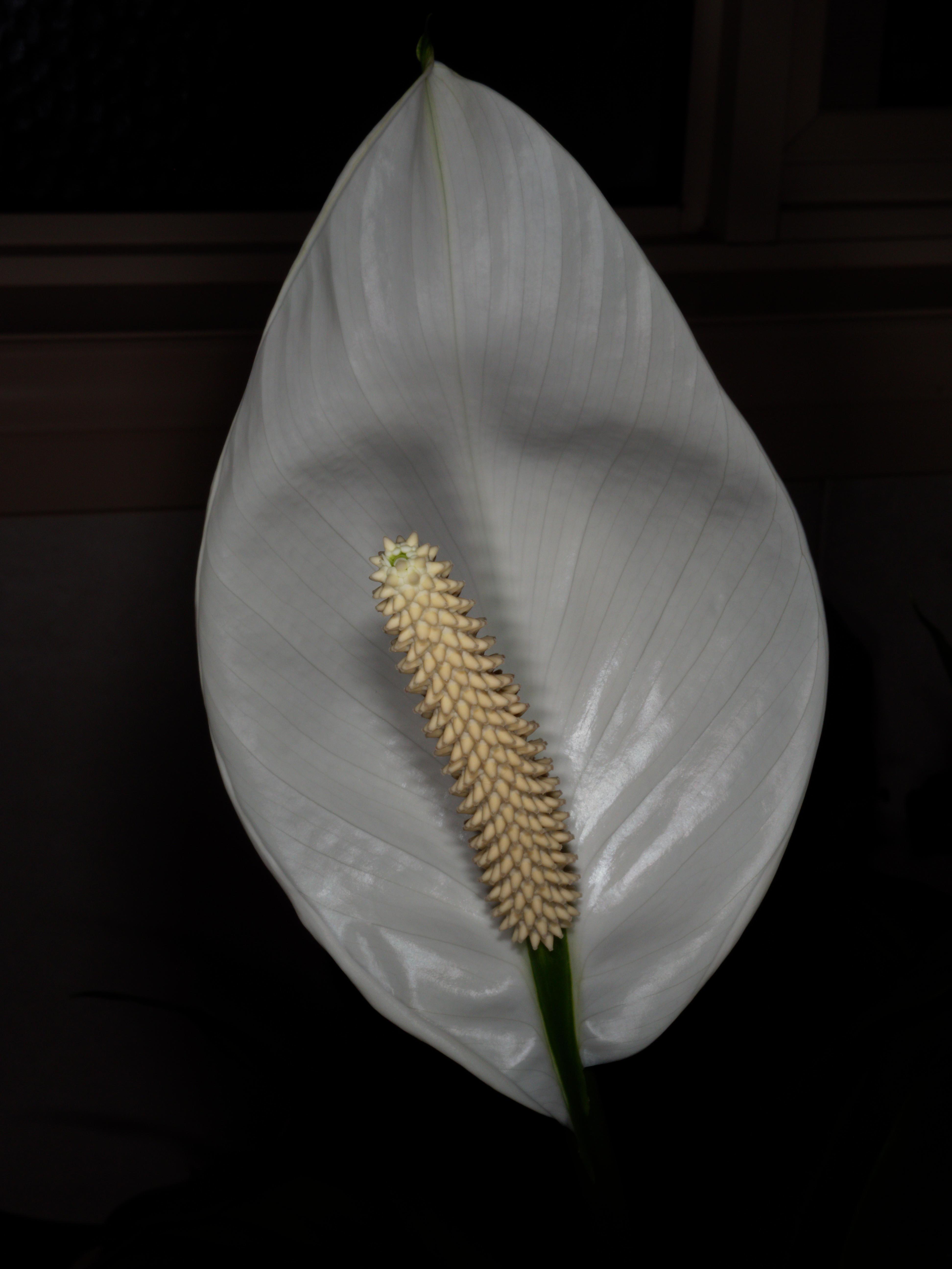 Spathiphyllum-7.jpeg