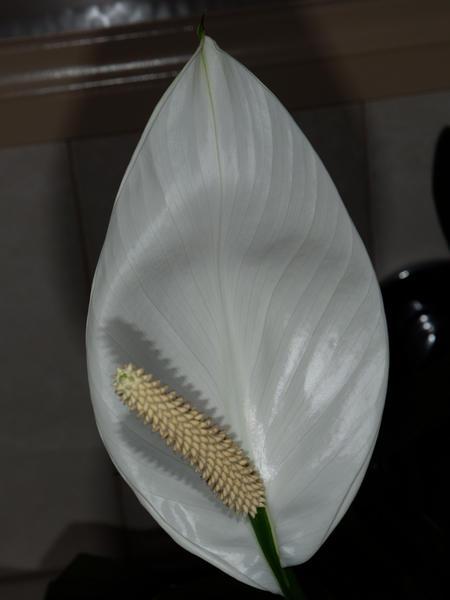 Spathiphyllum-12.jpeg