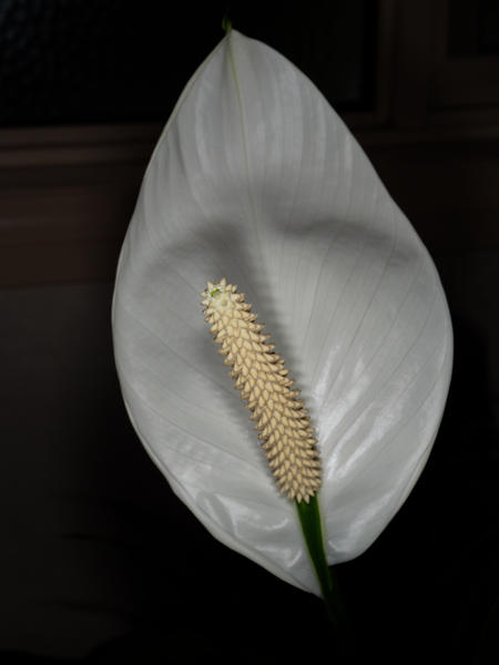 Spathiphyllum-8.jpeg