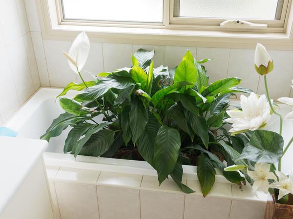 Spathiphyllum-3.jpeg