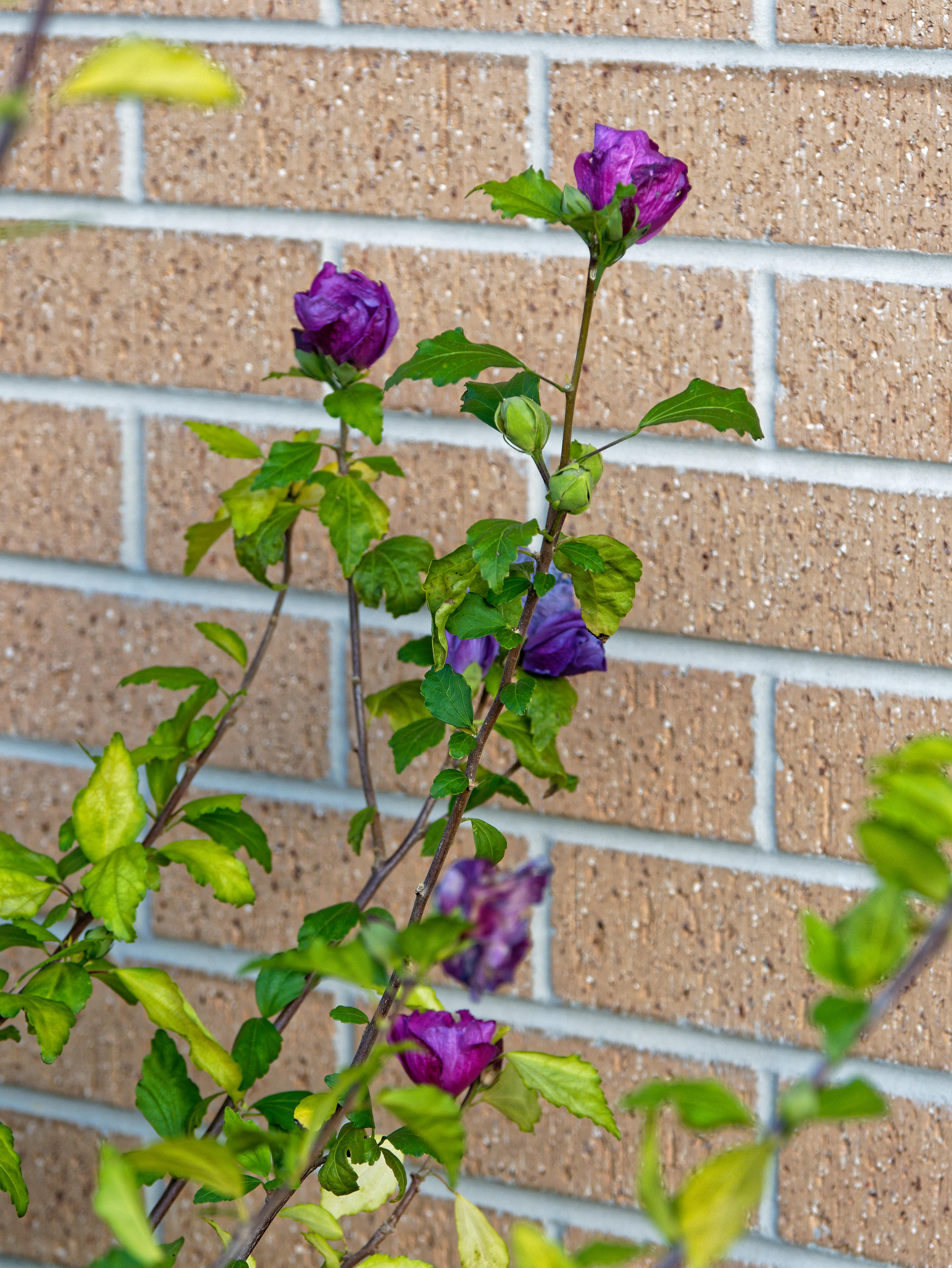 This should be Hibiscus-syriacus-1.jpeg.  Is it missing?