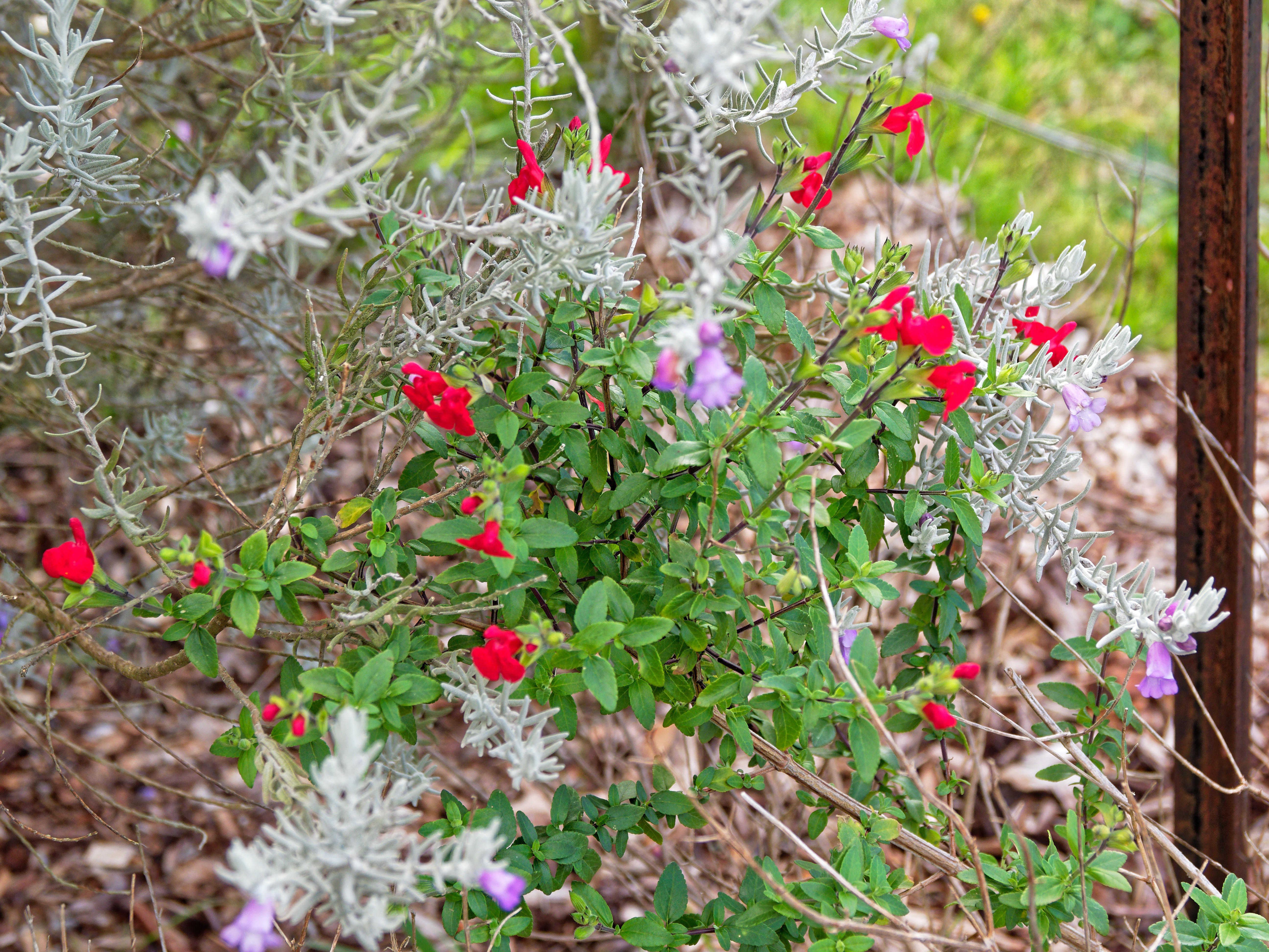 This should be Salvia-microphylla.jpeg.  Is it missing?