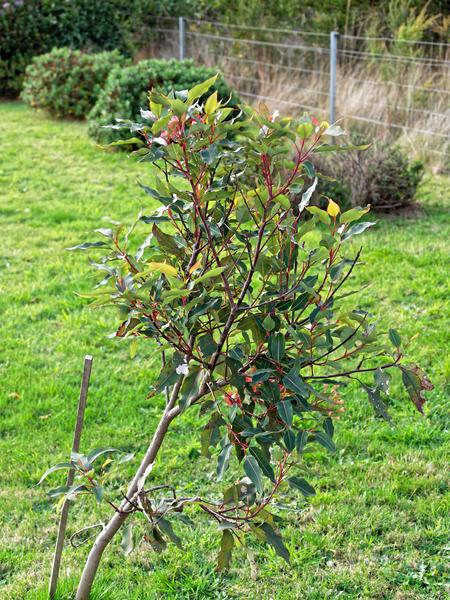Corymbia-ficifolia.jpeg