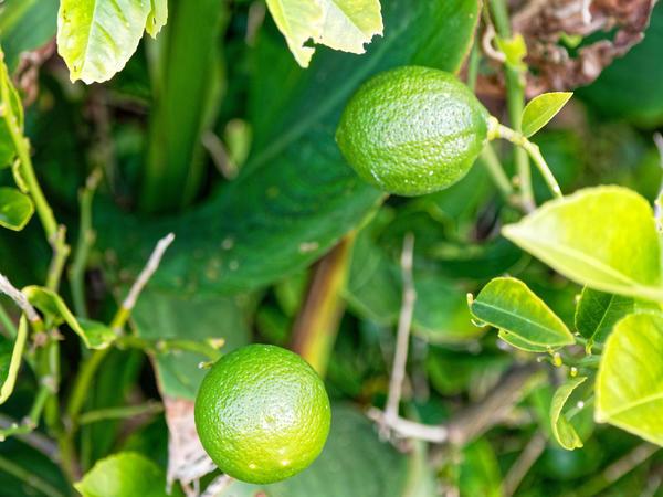 Lime-3.jpeg