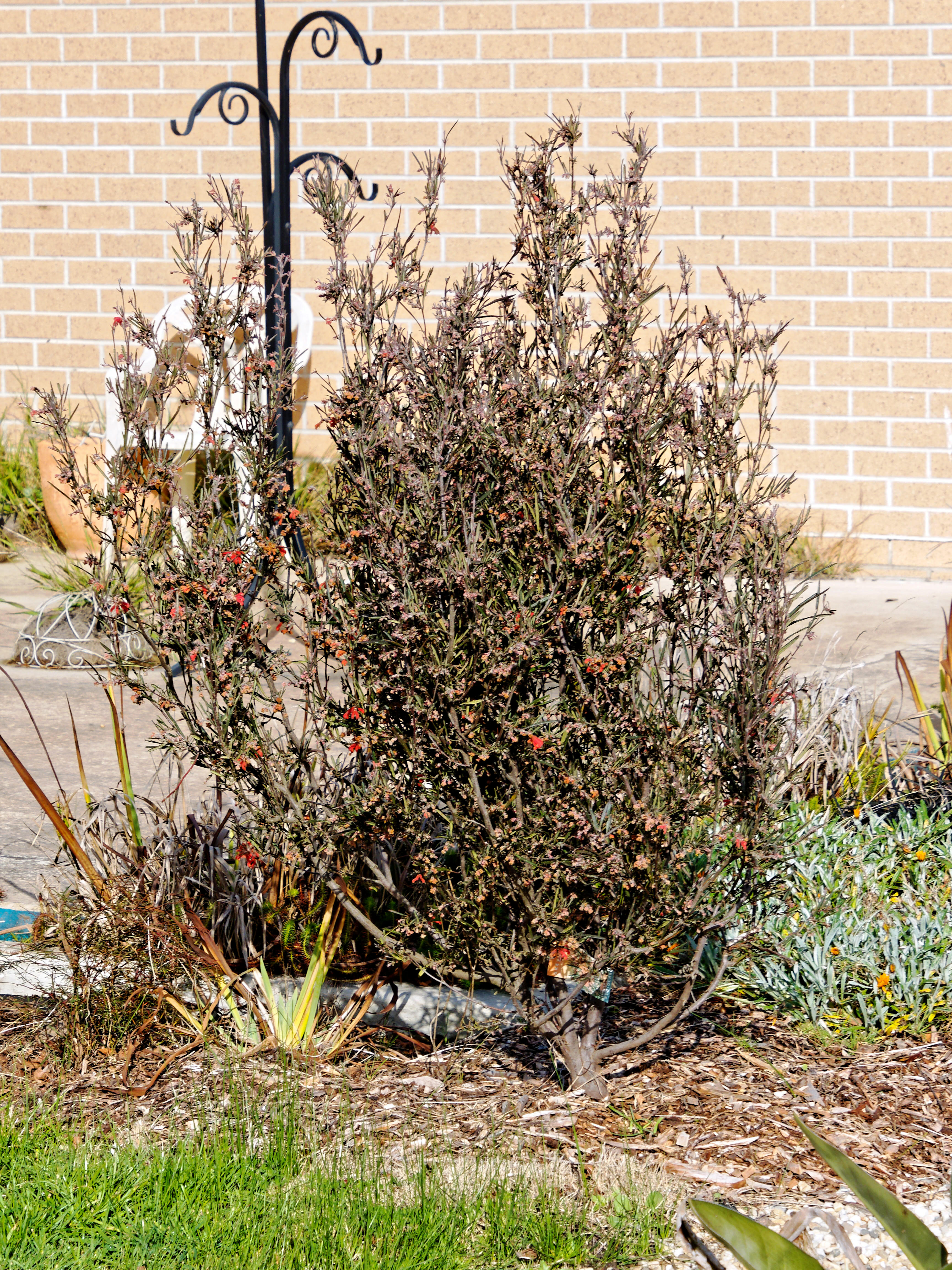 This should be Grevillea.jpeg.  Is it missing?