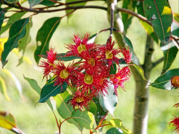 Corymbia-ficifolia-3.jpeg