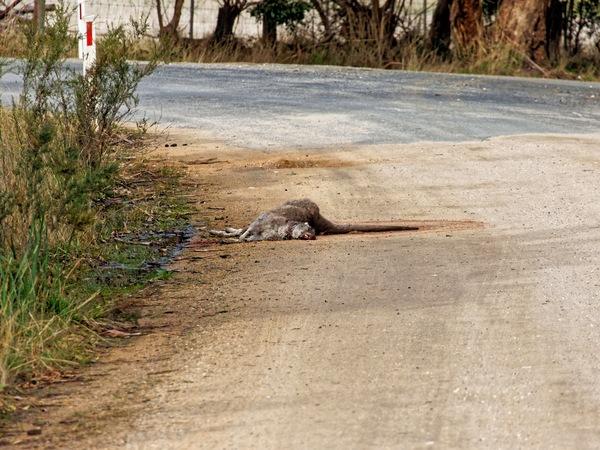 Dead-kangaroo-2.jpeg