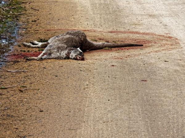 Dead-kangaroo-3.jpeg