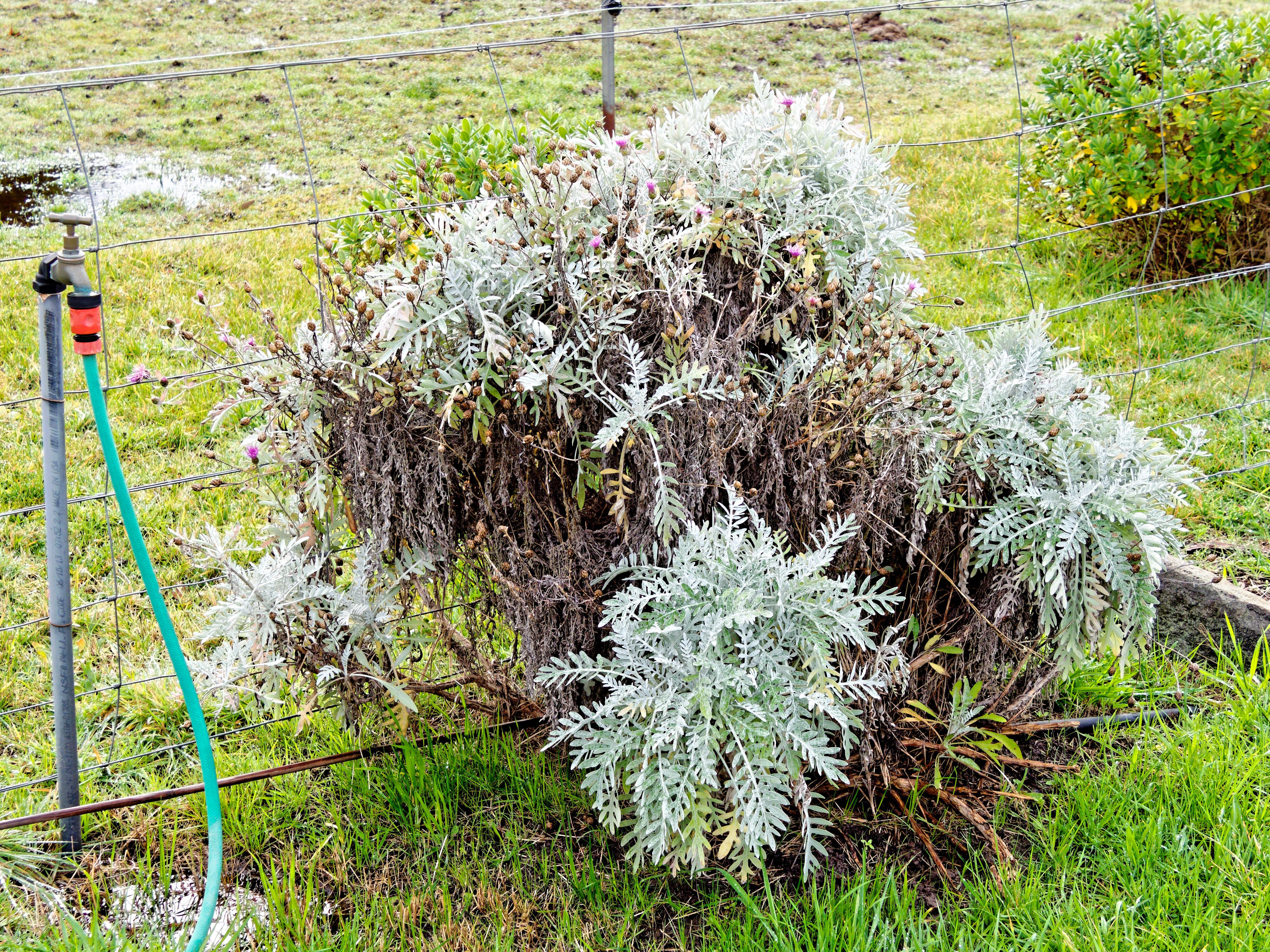 Artemisia.jpeg
