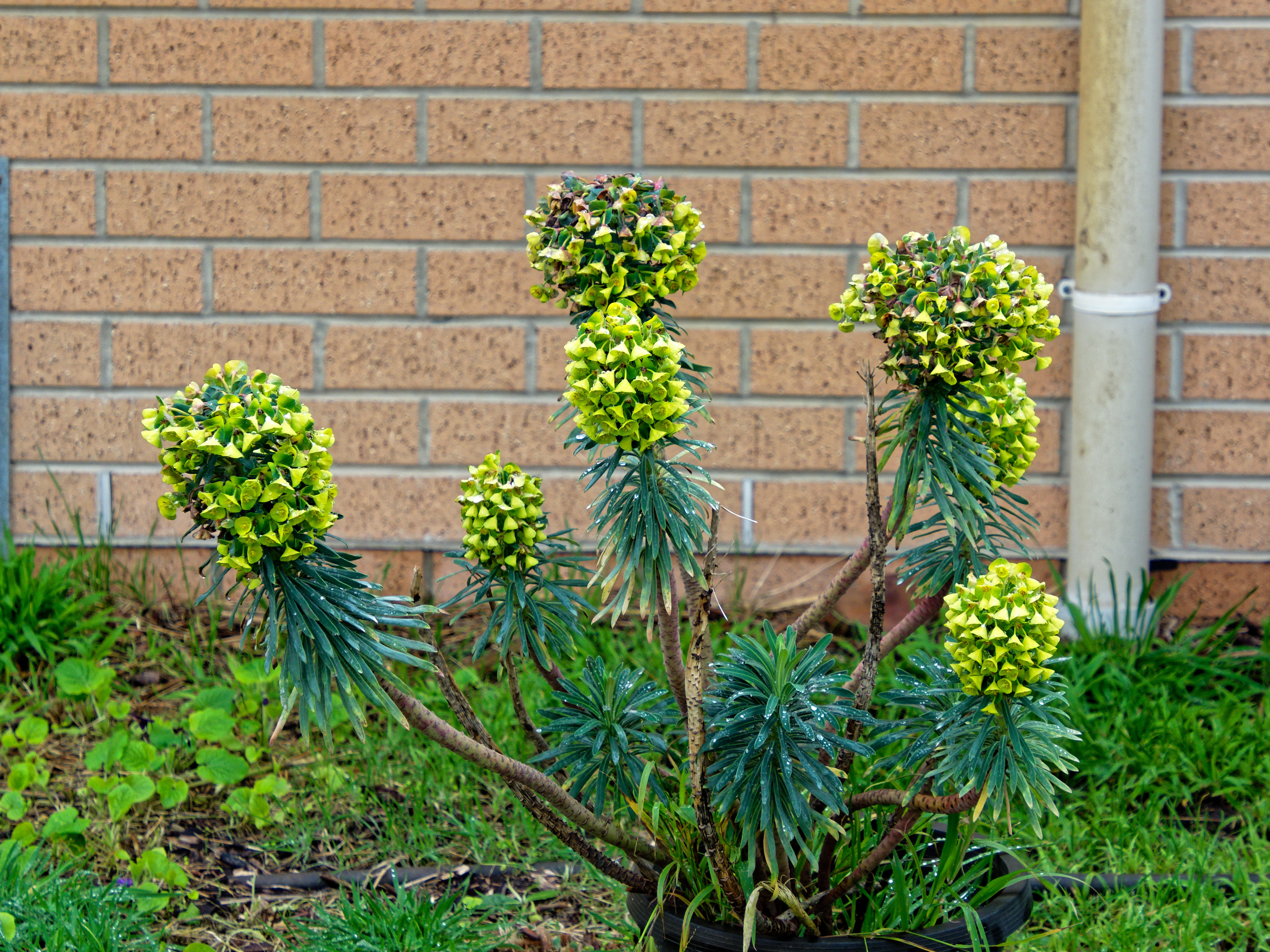 This should be Euphorbia.jpeg.  Is it missing?