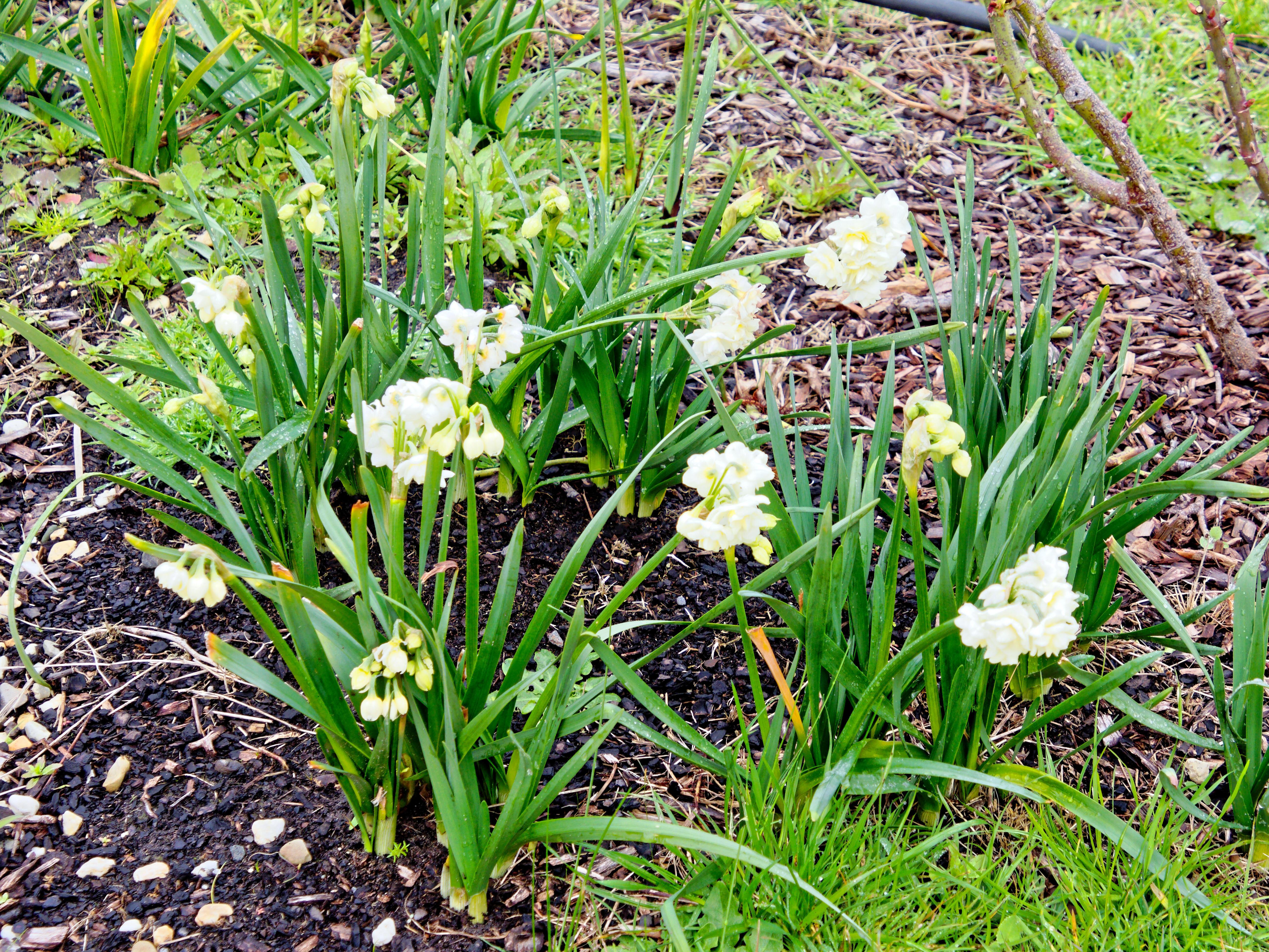 Narcissus-2.jpeg