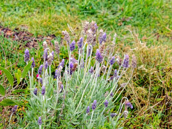 Lavender-2.jpeg