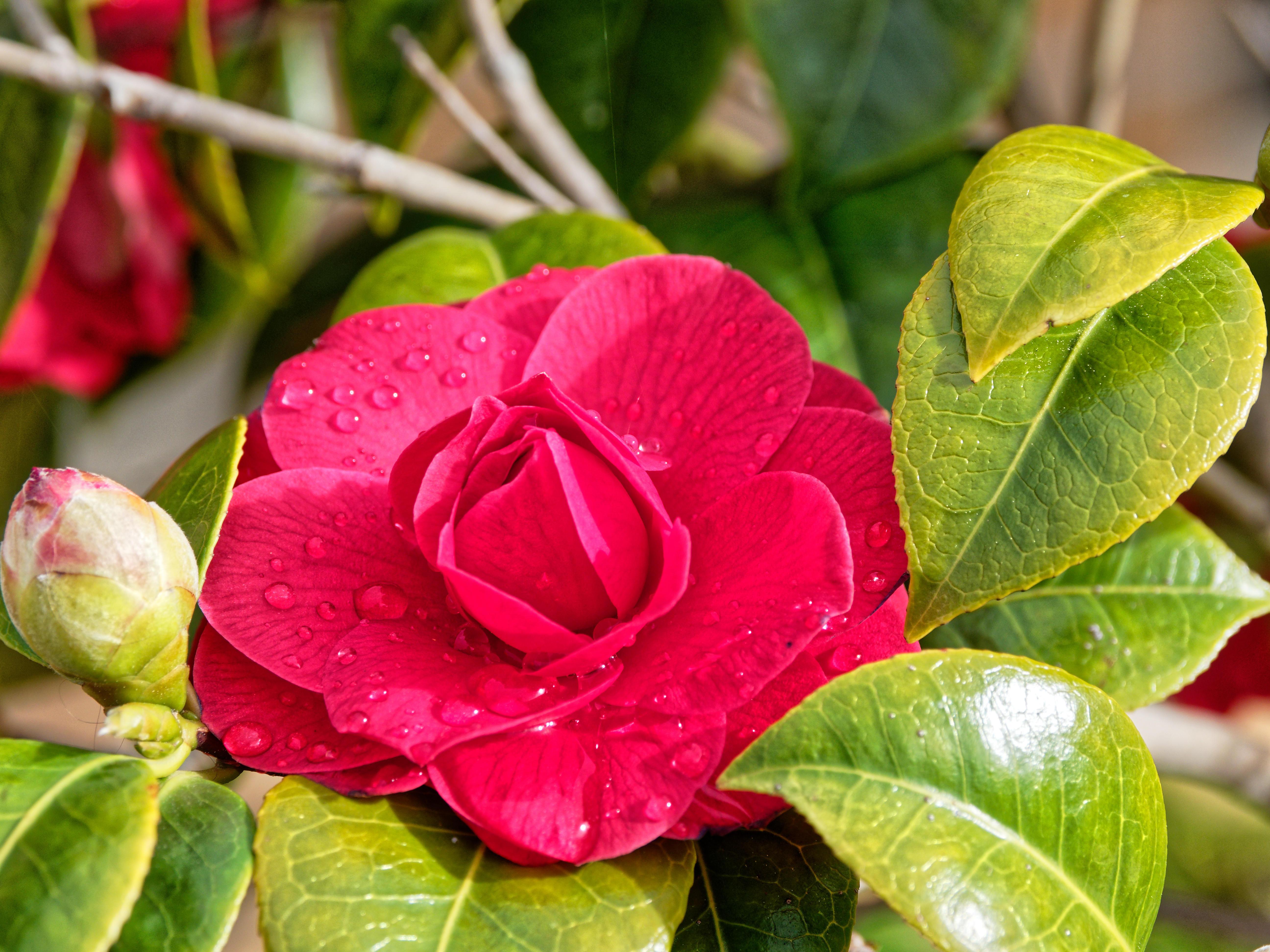 Camellia-3.jpeg