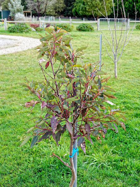 Corymbia-ficifolia-1.jpeg