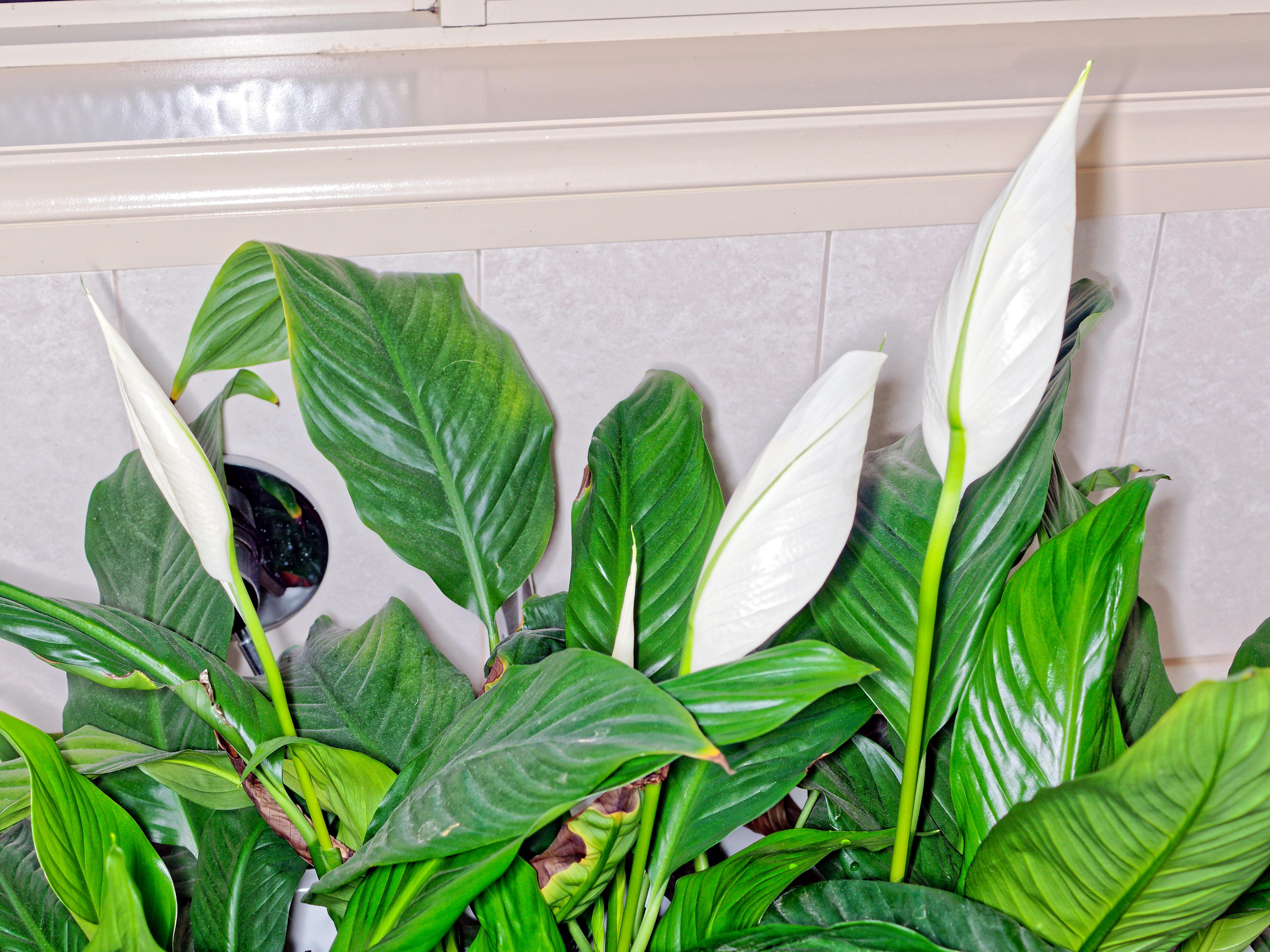Spathyphyllum-2.jpeg
