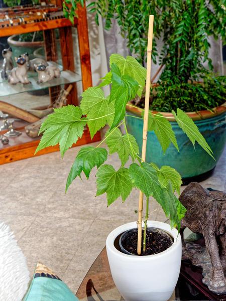 Spathyphyllum-10.jpeg