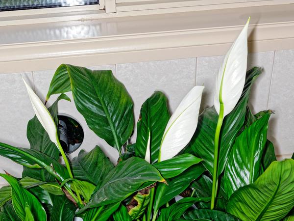 Spathyphyllum-3.jpeg