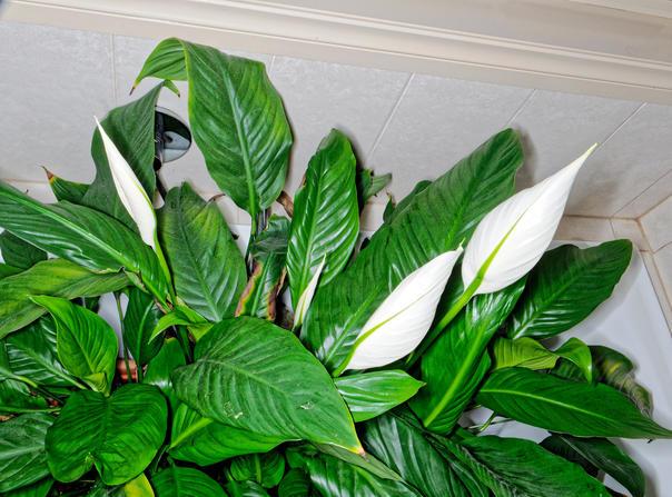 Spathyphyllum-4.jpeg